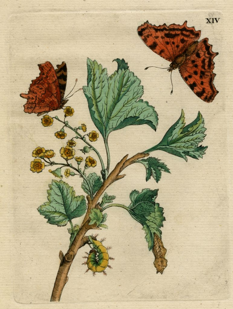 Maria Sibylla Merian (German, 1647-1717) Hand-colored etching from 1679 Raupen book. Purchase made possible by Betsy A. and Bruce R. Stefany '71, Special Collections and College Archives, Musselman Library, Gettysburg College